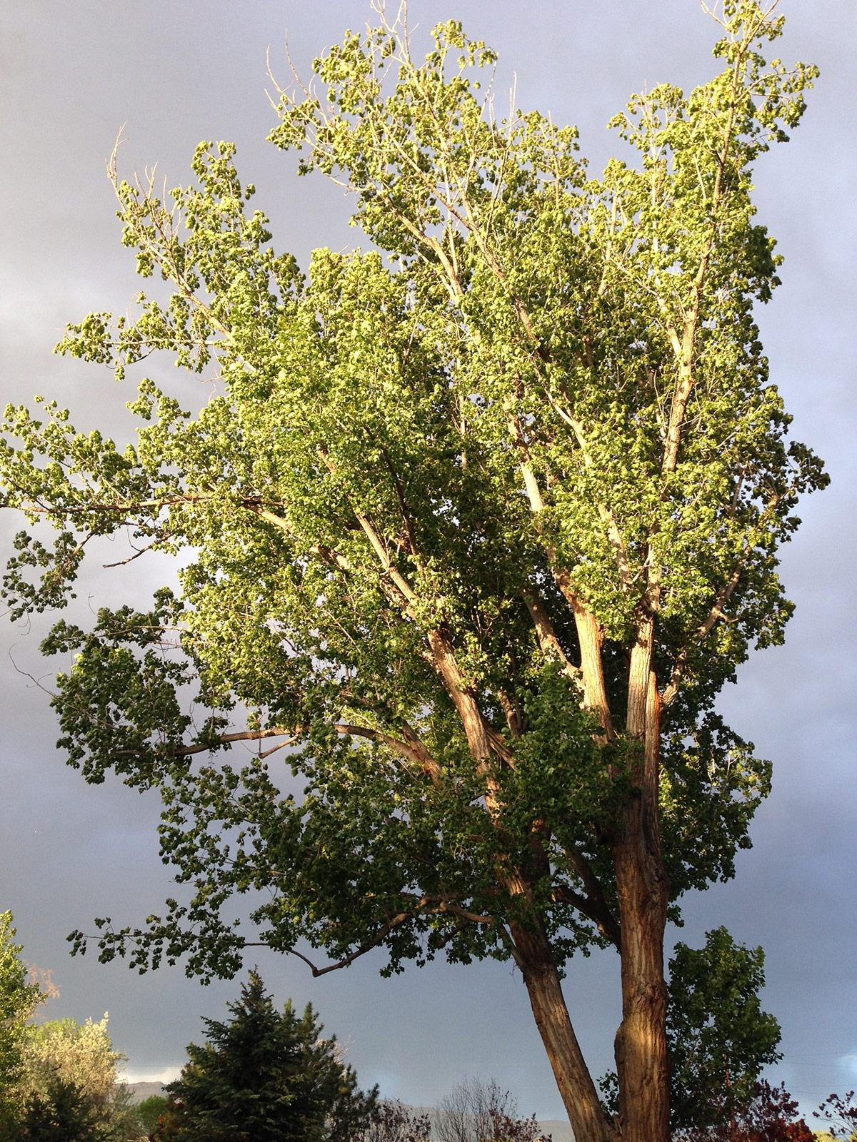 Large Fremont Cottonwood in Grand Junction